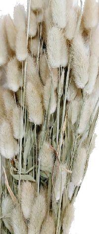 Lagurus / Samtgras NATUR 5067 100 Gramm Hasenschwanz Gras